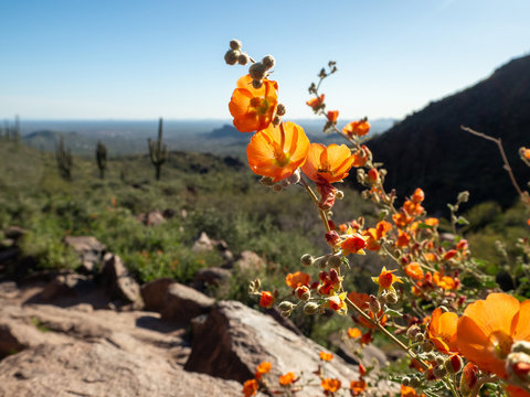 Arizona Desert Wild Flowers with Saguaro Cactus