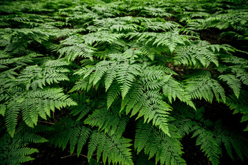 Scenic natural texture of many fern leaves. Beautiful nature background of vivid green ferns. Backdrop of lush fern thickets close-up. Full frame of chaotic rich vegetations. Wild ferns chaos pattern.
