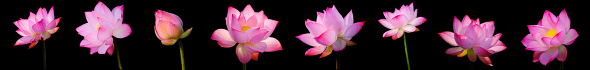 Tuinposter Waterlelies Collection Pink Lotus flower (water lily) isolated on black background with Clipping Paths.