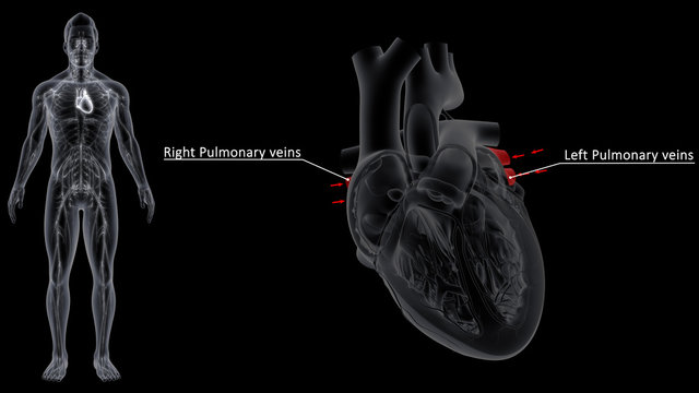 Right and Left pumlmonary Vein