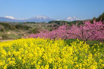 Fotorollo Gelb 丹霞郷の満開の桃の花