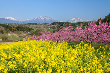 Stores à enrouleur Jaune 丹霞郷の満開の桃の花