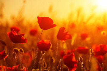 Bright red poppies in a field at sunset