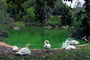 green water with white swan