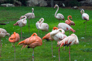 red and white flamingo in african zoo