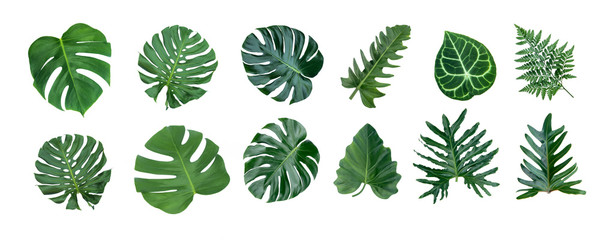 Monstera and Fern plant leaves, the tropical evergreen vine isolated on white background,