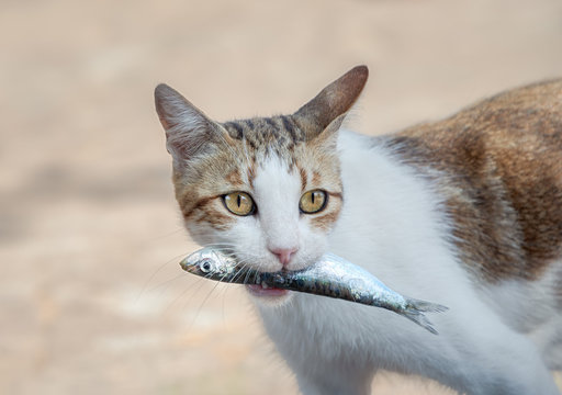 Young hungry cat holding a fresh fish in its mouth, eating a tasty and wholesome meal, Greece