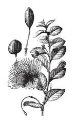 Caper (Capparis spinosa) / vintage illustration from Brockhaus Konversations-Lexikon 1908