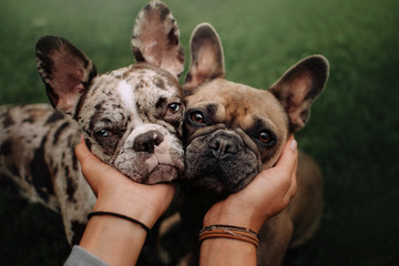 Foto op Canvas Franse bulldog two french bulldog dogs portrait close up outdoors together