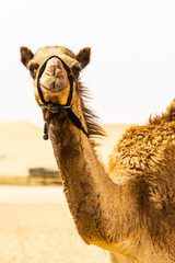 Poster Kameel camel smiling to the camera and getting a portrait done, with a desert background