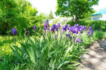 Purple Iris in full bloom on flowerbed in garden on sunny day