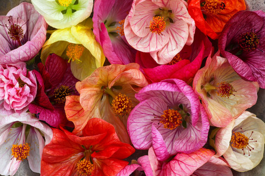 Colorful and bright Abutilon - Chinese lantern flowers are sitting in a metal bowl showing off their beauty.