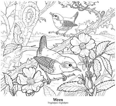 Wren. Troglodytes troglodytes
