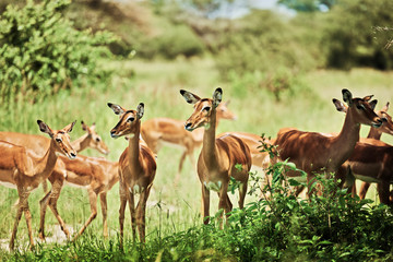 Photo sur Toile Antilope Group of antelopes in National Park of Tanzania