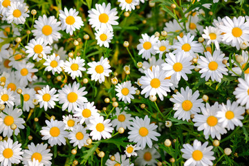 Photo sur Toile Marguerites Wild daisy flowers growing on meadow. Meadow with lots of white and pink spring daisy flowers. panoramic spring web banner.