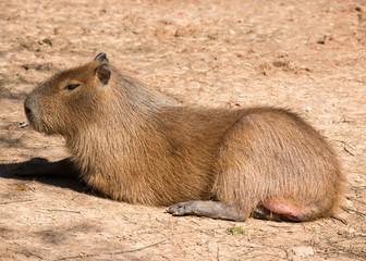 Wall Mural - Capybara