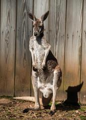 Fototapete - kangaroo in zoo