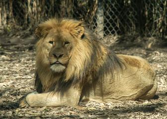 Fototapete - Lion