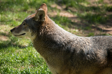 Fototapete - Red Wolf