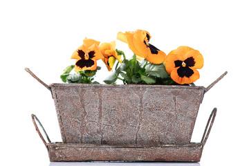 Fotorollo Stiefmutterchen Orange pansies in a flower pot on white background