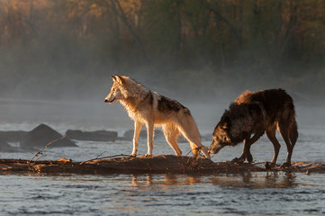Wall Mural - Backlit Grey Wolves (Canis lupus) Look Left Across River Autumn