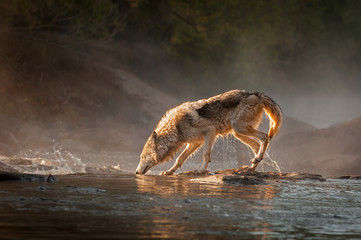 Wall Mural - Backlit Grey Wolf (Canis lupus) Walks Left Across River Autumn