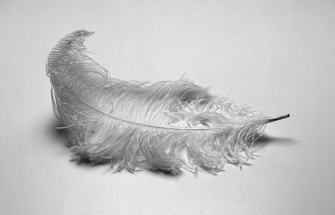 Poster Struisvogel A closeup shot of a white ostrich feather on a white background