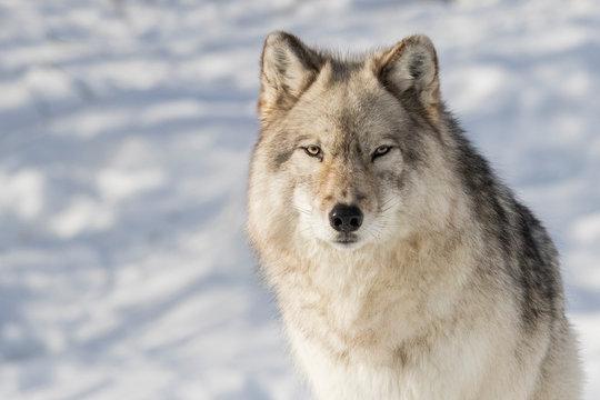 huge male grey wolf in winter