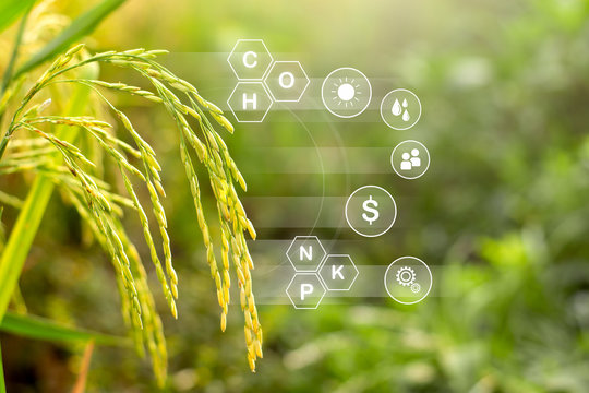 Rice plantations and technology icons about growth and benefits from cultivation.
