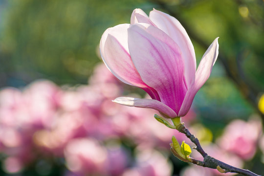 blossom of magnolia tree. beautiful pink flowers on the branches in sunlight. wonderful spring nature background