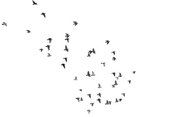 Photo sur Aluminium Oiseau Flocks of flying pigeons isolated on white background. Save with clipping path.