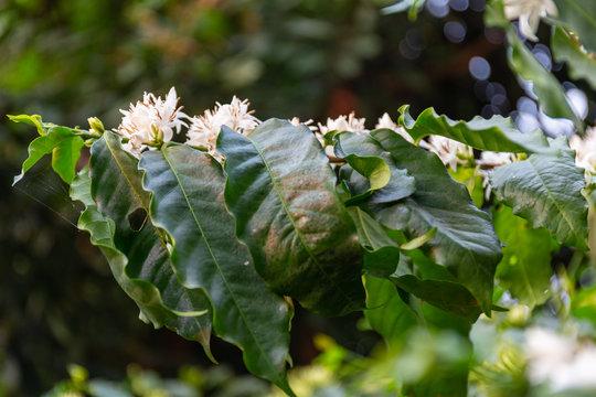 coffee flower and leaf