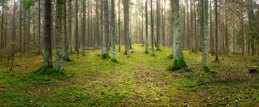 panorama of an old spruce forest with moss on the ground