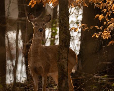 Whitetail deer in North Carolina