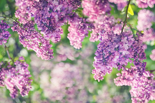 Spring flowering lilac in the garden. natural spring background.