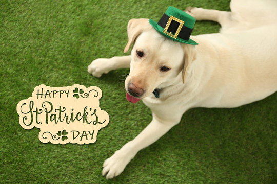 Labrador retriever with leprechaun hat on green grass, above view. St. Patrick's day