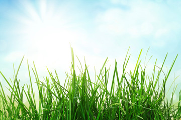 Wall Mural - Green grass and sunny blue sky, spring background, countryside meadow in full sun