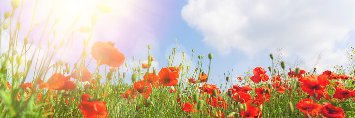 Spoed Fotobehang Klaprozen Red poppy flowers on sunny blue sky
