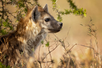 Deurstickers Hyena Spotted hyena (Crocuta crocuta), also known as the laughing hyena is a hyena species, currently classed as the sole extant member of the genus Crocuta, native to Sub-Saharan Africa.