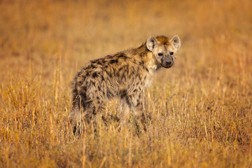 Zelfklevend Fotobehang Hyena Spotted hyena (Crocuta crocuta), also known as the laughing hyena is a hyena species, currently classed as the sole extant member of the genus Crocuta, native to Sub-Saharan Africa.