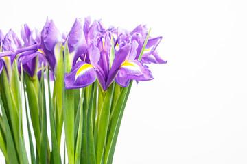 beautiful dark purple iris flower on white background