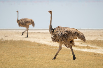 Poster Struisvogel common ostrich (Struthio camelus), or simply ostrich, is a species of large flightless bird native to certain large areas of Africa.