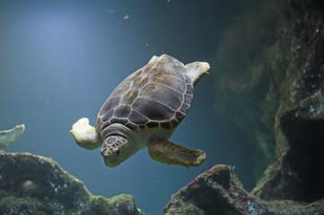 underwater turtle inside an aquarium Wall mural