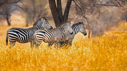 Foto auf Leinwand Zebra The plains zebra (Equus quagga, formerly Equus burchellii), also known as the common zebra, is the most common and geographically widespread species of zebra.