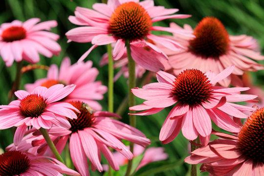 Purpur-Sonnenhut (Echinacea purpurea)  Pflanze mit vielen Blüten, Heilpflanze
