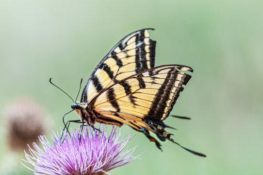 Western Tiger swallowtail Papilio rutulus