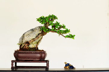 Miniature bonsai on indoor background