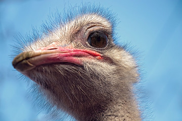 Poster Struisvogel Head of ostrich against the background of blue sky