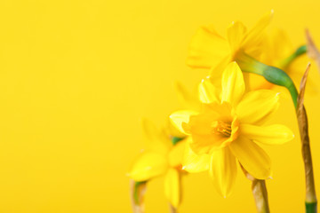 Yellow daffodil on yellow background. Conceptual background with narcissus with copy space.