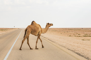 Funny camel crossing the road in desert